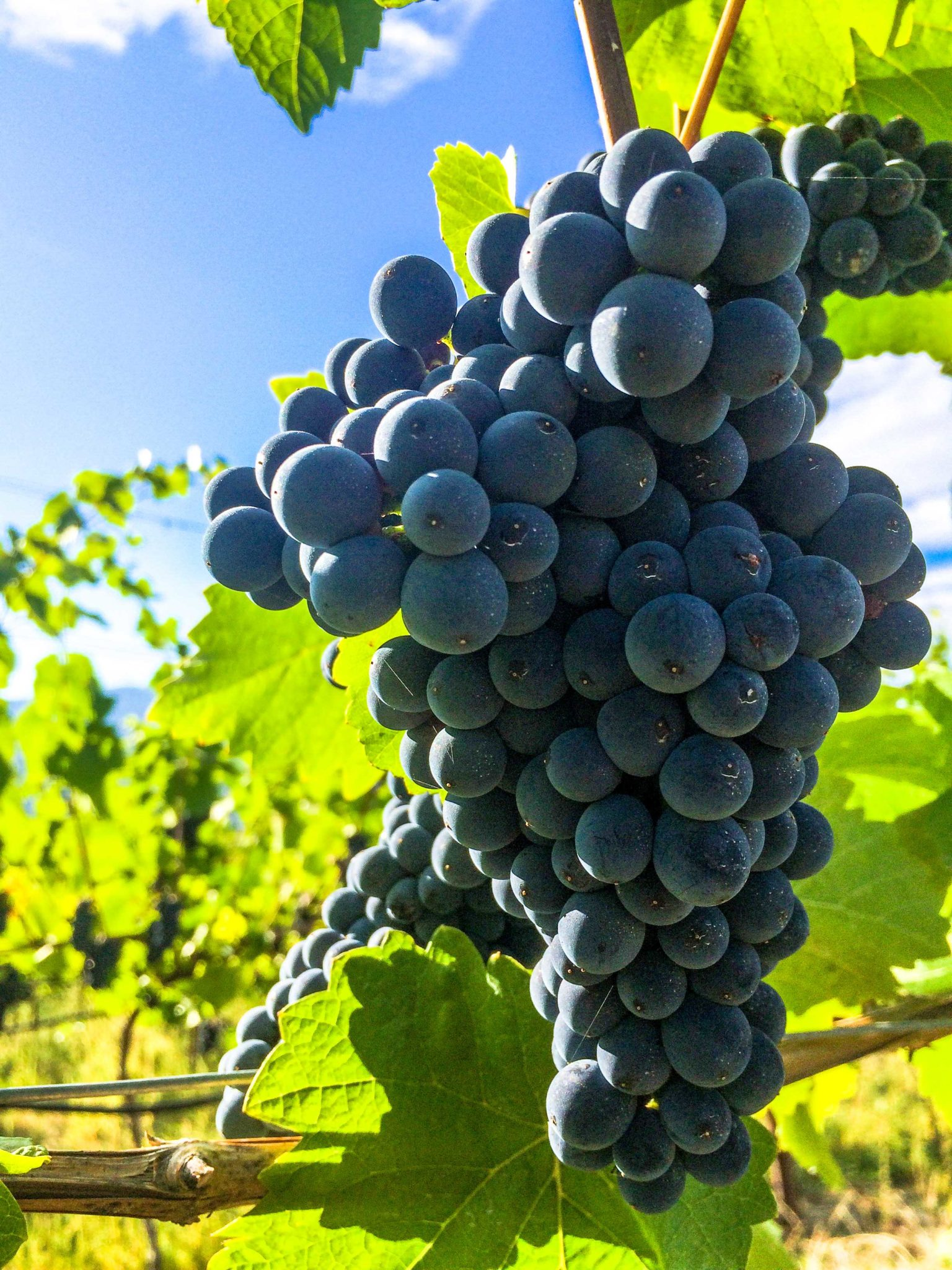 Pinot Noir grapes at 50th Parallel