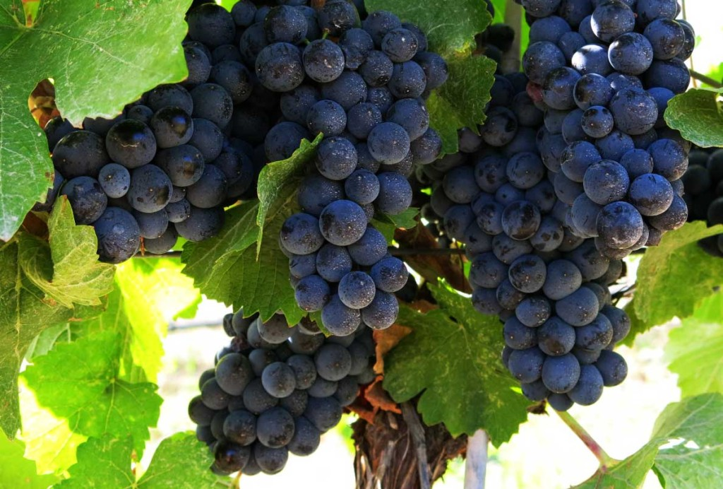 Pinot Noir at Liquidity Winery