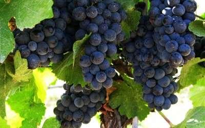 In Praise of Pinot